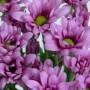 Lavender-Daisy-Pom