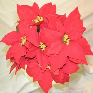 Red-Velvet-Poinsettia-Bush