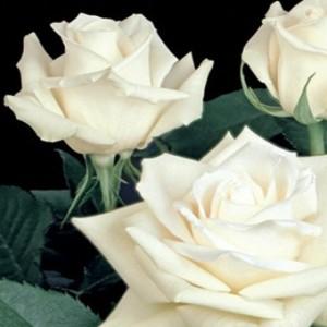 White-Rose-Escimo