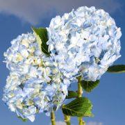 blue-hydrangea-flower