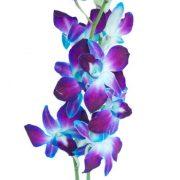 blue_dendrobium_orchids