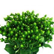 green-hypericum-berries