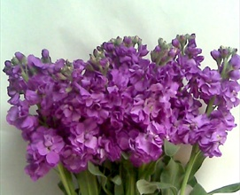 double Stock Purple