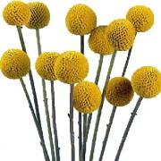 craspedia-flowers