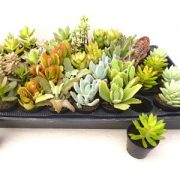 Succulant plants