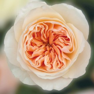 David Austin Garden Rose Juilet