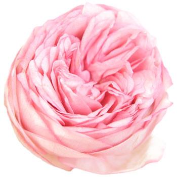 Bridal Piano Garden Rose Pink