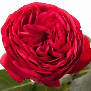 Etonnant Bridal Piano Garden Rose Red