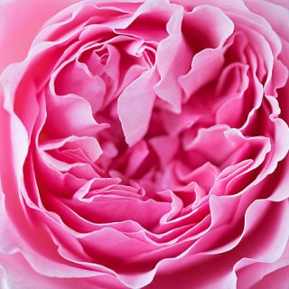 david-austin-miranda-rose