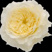 david-austin-patience-rose