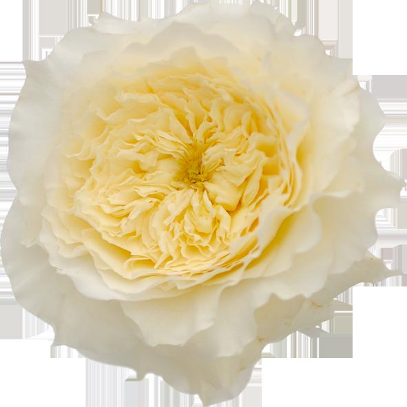 Roses In Garden: David Austin Garden Rose Patience