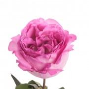 hot-pink-garden-rose-yves-piaget-1
