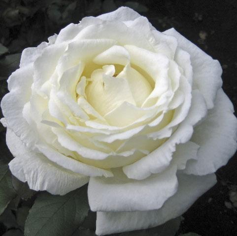 Lovely White Ohara Garden Rose