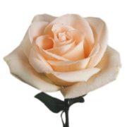 Osiana-Peach-Rose